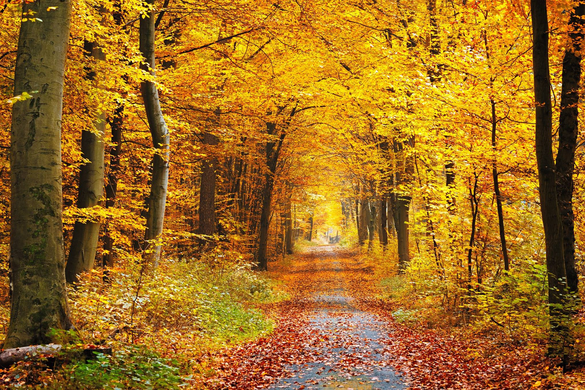 A fall road is shown with logs of orange and yellow aspens.